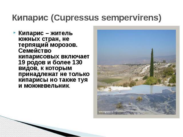 Кипарис (Cupressus sempervirens)Кипарис – житель южных стран, не терпящий морозов. Семейство кипарисовых включает 19 родов и более 130 видов, к которым принадлежат не только кипарисы но также туя и можжевельник.