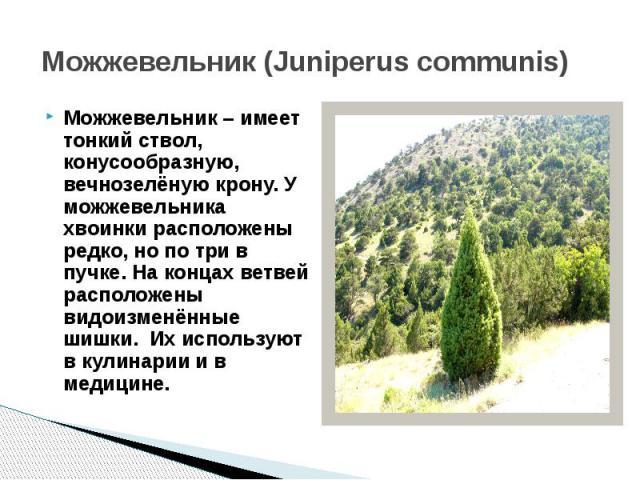 Можжевельник (Juniperus communis)Можжевельник – имеет тонкий ствол, конусообразную, вечнозелёную крону. У можжевельника хвоинки расположены редко, но по три в пучке. На концах ветвей расположены видоизменённые шишки. Их используют в кулинарии и в ме…