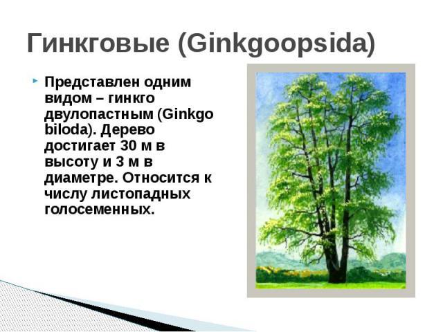 Гинкговые (Ginkgoopsida)Представлен одним видом – гинкго двулопастным (Ginkgo biloda). Дерево достигает 30 м в высоту и 3 м в диаметре. Относится к числу листопадных голосеменных.