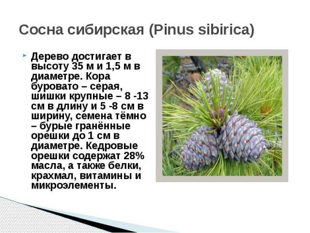 Сосна сибирская (Pinus sibirica)Дерево достигает в высоту 35 м и 1,5 м в диаметре. Кора буровато – серая, шишки крупные – 8 -13 см в длину и 5 -8 см в ширину, семена тёмно – бурые гранённые орешки до 1 см в диаметре. Кедровые орешки содержат 28% мас…