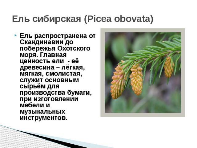 Ель сибирская (Picea obovata)Ель распространена от Скандинавии до побережья Охотского моря. Главная ценность ели - её древесина – лёгкая, мягкая, смолистая, служит основным сырьём для производства бумаги, при изготовлении мебели и музыкальных инстру…