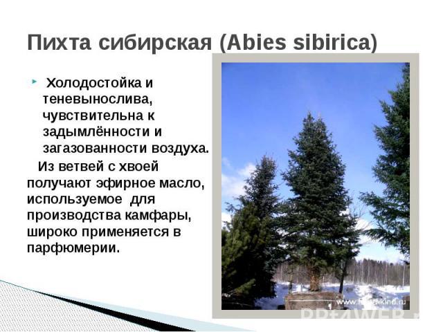 Пихта сибирская (Abies sibirica) Холодостойка и теневынослива, чувствительна к задымлённости и загазованности воздуха. Из ветвей с хвоей получают эфирное масло, используемое для производства камфары, широко применяется в парфюмерии.