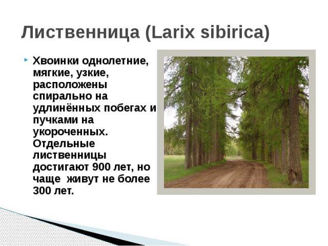 Лиственница (Larix sibirica)Хвоинки однолетние, мягкие, узкие, расположены спирально на удлинённых побегах и пучками на укороченных. Отдельные лиственницы достигают 900 лет, но чаще живут не более 300 лет.