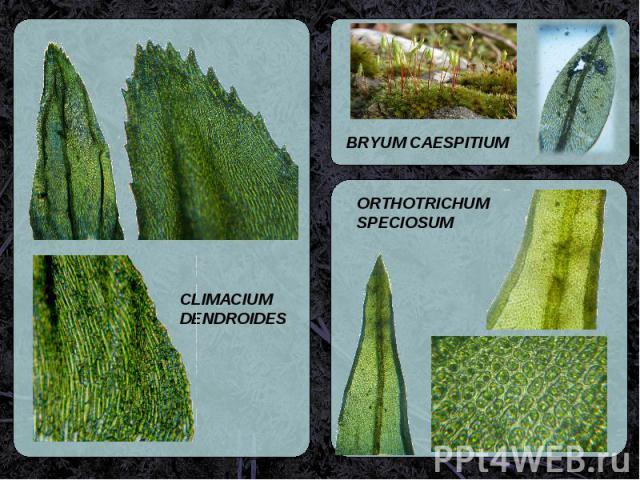 BRYUM CAESPITIUM ORTHOTRICHUM SPECIOSUM CLIMACIUM DENDROIDES
