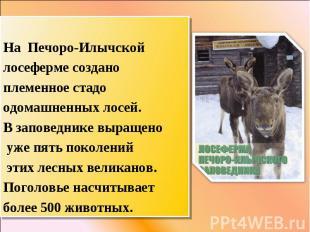 На Печоро-Илычской лосеферме создано племенное стадо одомашненных лосей. В запов