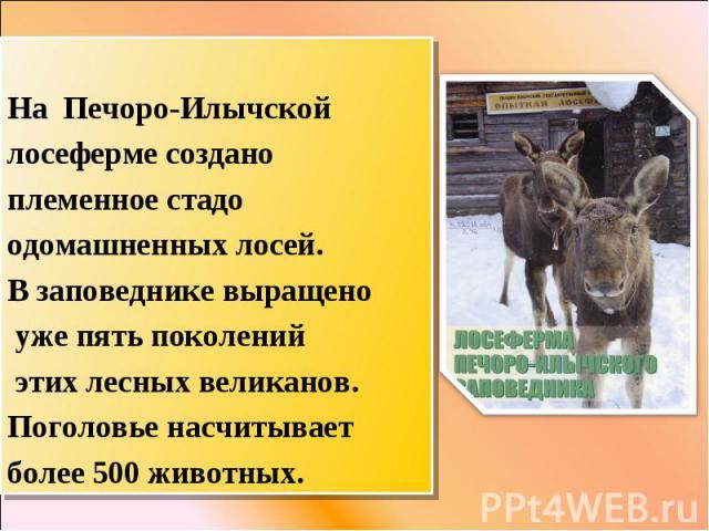 На Печоро-Илычской лосеферме создано племенное стадо одомашненных лосей. В заповеднике выращено уже пять поколений этих лесных великанов. Поголовье насчитывает более 500 животных.