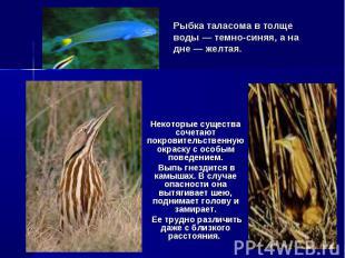 Рыбка таласома в толще воды — темно-синяя, а на дне — желтая. Некоторые существа