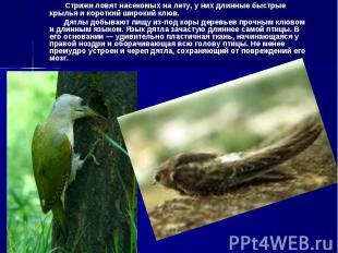Стрижи ловят насекомых на лету, у них длинные быстрые крылья и короткий широкий