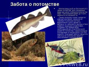 Забота о потомстве Многие виды рыб не беспокоятся о своем потомстве, для сохране