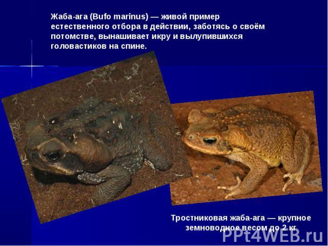 Жаба-ага (Bufo marinus) — живой пример естественного отбора в действии, заботясь о своём потомстве, вынашивает икру и вылупившихся головастиков на спине.Тростниковая жаба-ага — крупное земноводное весом до 2 кг