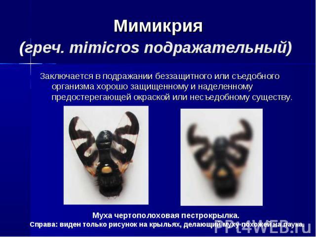 Мимикрия(греч. mimicros подражательный) Заключается в подражании беззащитного или съедобного организма хорошо защищенному и наделенному предостерегающей окраской или несъедобному существу. Муха чертополоховая пестрокрылка. Справа: виден только рисун…