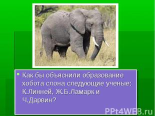Как бы объяснили образование хобота слона следующие ученые: К.Линней, Ж.Б.Ламарк
