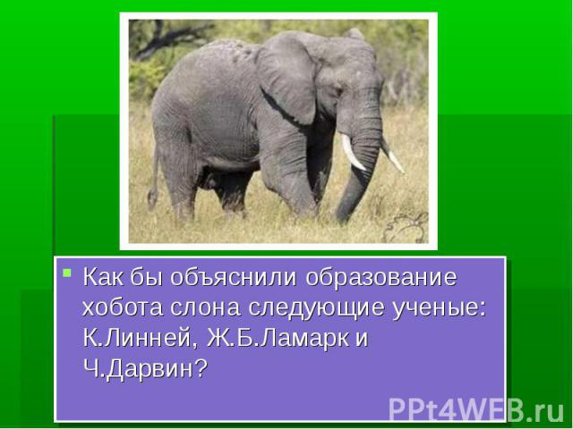 Как бы объяснили образование хобота слона следующие ученые: К.Линней, Ж.Б.Ламарк и Ч.Дарвин?