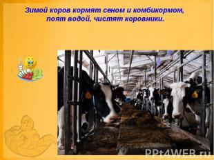 Зимой коров кормят сеном и комбикормом, поят водой, чистят коровники.