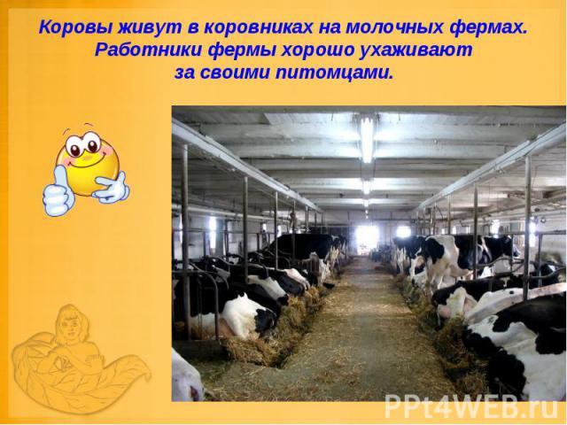 Коровы живут в коровниках на молочных фермах. Работники фермы хорошо ухаживают за своими питомцами.