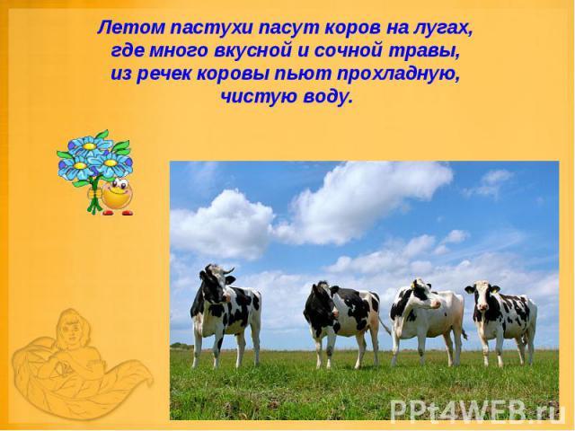 Летом пастухи пасут коров на лугах, где много вкусной и сочной травы, из речек коровы пьют прохладную, чистую воду.