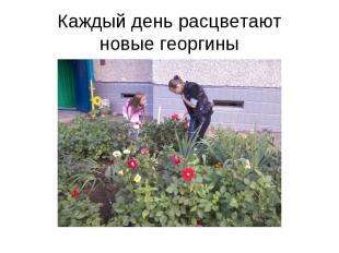 Каждый день расцветаютновые георгины