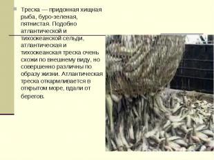 Треска — придонная хищная рыба, буро-зеленая, пятнистая. Подобно атлантической и