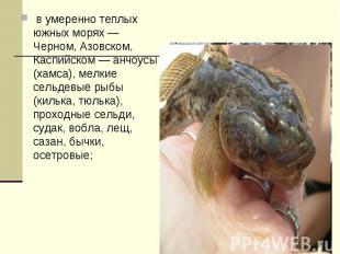 в умеренно теплых южных морях — Черном, Азовском, Каспийском — анчоусы (хамса),