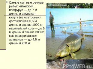 Самые крупные речные рыбы: китайский псефурус — до 7 м длины и амурская калуга (