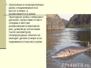 Проходныеиполупроходные рыбыоткармливаются и растут в море, а размножаются в