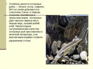 Особенно ценятся осетровые рыбы — белуга, осетр, севрюга; 90% их улова добываетс