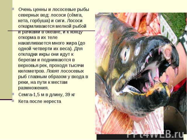 Очень ценны и лососевые рыбы северных вод: лососи (сёмга, кета, горбуша) и сиги. Лососи откармливаются мелкой рыбой и рачками в океане, и к концу откорма в их теле накапливается много жира (до одной четверти их веса). Для откладки икры они идут к бе…