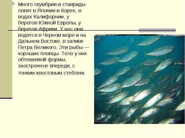 Много скумбрии и ставриды ловят в Японии и Корее, в водах Калифорнии, у берегов Южной Европы, у берегов Африки. У нас они водятся в Черном море и на Дальнем Востоке, в заливе Петра Великого. Эти рыбы — хорошие пловцы. Тело у них обтекаемой формы, за…