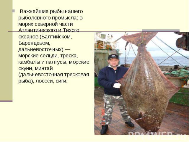 Важнейшие рыбы нашего рыболовного промысла: в морях северной части Атлантического и Тихого океанов (Балтийском, Баренцевом, дальневосточных) — морские сельди, треска, камбалы и палтусы, морские окуни, минтай (дальневосточная тресковая рыба), лососи…