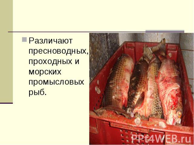 Различают пресноводных, проходных и морских промысловых рыб.