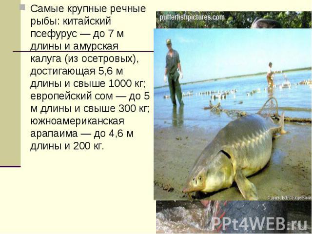 Самые крупные речные рыбы: китайский псефурус — до 7 м длины и амурская калуга (из осетровых), достигающая 5,6 м длины и свыше 1000 кг; европейский сом — до 5 м длины и свыше 300 кг; южноамериканская арапаима — до 4,6 м длины и 200 кг.