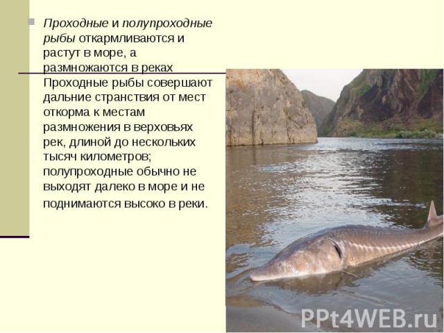 Проходныеиполупроходные рыбыоткармливаются и растут в море, а размножаются в реках Проходные рыбы совершают дальние странствия от мест откорма к местам размножения в верховьях рек, длиной до нескольких тысяч километров; полупроходные обычно не вы…