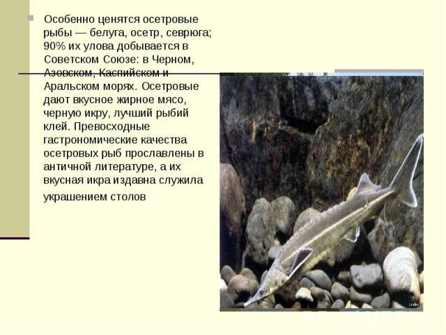 Особенно ценятся осетровые рыбы — белуга, осетр, севрюга; 90% их улова добывается в Советском Союзе: в Черном, Азовском, Каспийском и Аральском морях. Осетровые дают вкусное жирное мясо, черную икру, лучший рыбий клей. Превосходные гастрономические …