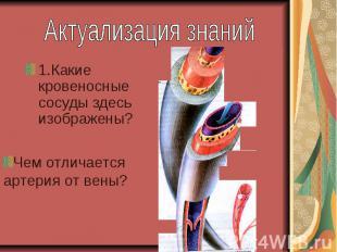 Актуализация знаний1.Какие кровеносные сосуды здесь изображены? Чем отличается а