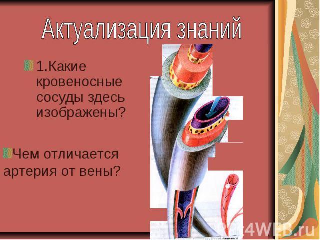 Актуализация знаний1.Какие кровеносные сосуды здесь изображены? Чем отличается артерия от вены?