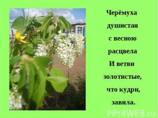 Черёмуха душистая с весною расцвелаИ ветви золотистые, что кудри, завила.