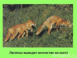 Лисичка выводит потомство на охоту