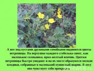 А вот под кустами дружными семейками виднеются цветы ветреницы. На верхушке кажд