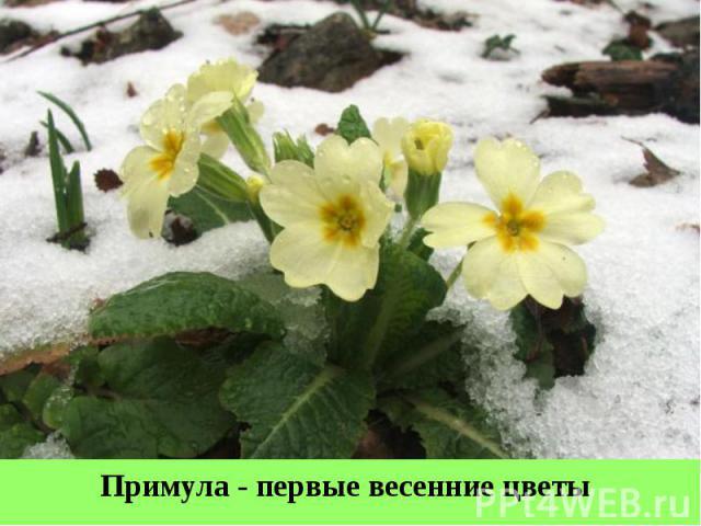 Примула - первые весенние цветы