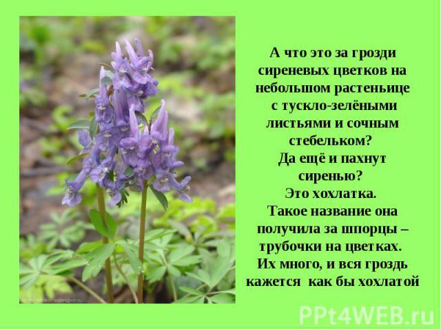 А что это за грозди сиреневых цветков на небольшом растеньице с тускло-зелёными листьями и сочным стебельком? Да ещё и пахнут сиренью? Это хохлатка. Такое название она получила за шпорцы – трубочки на цветках. Их много, и вся гроздь кажется как бы х…
