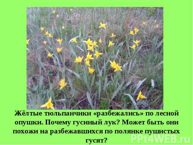 Жёлтые тюльпанчики «разбежались» по лесной опушки. Почему гусиный лук? Может быть они похожи на разбежавшихся по полянке пушистых гусят?