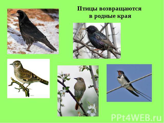 Птицы возвращаются в родные края