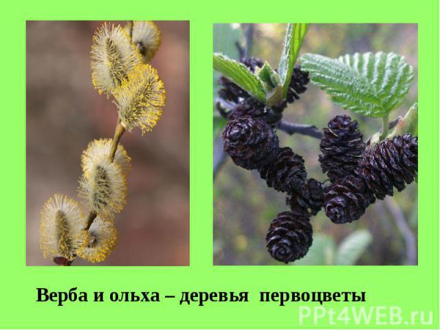 Верба и ольха – деревья первоцветы