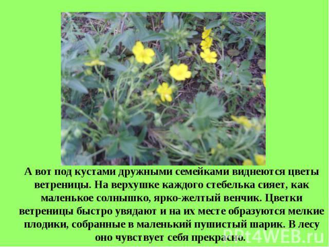 А вот под кустами дружными семейками виднеются цветы ветреницы. На верхушке каждого стебелька сияет, как маленькое солнышко, ярко-желтый венчик. Цветки ветреницы быстро увядают и на их месте образуются мелкие плодики, собранные в маленький пушистый …