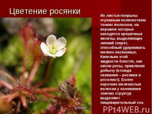 Цветение росянкиИх листья покрыты огромным количеством тонких волосков, на верши