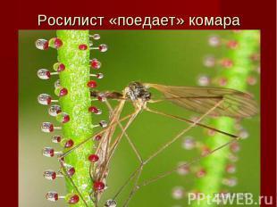 Росилист «поедает» комара