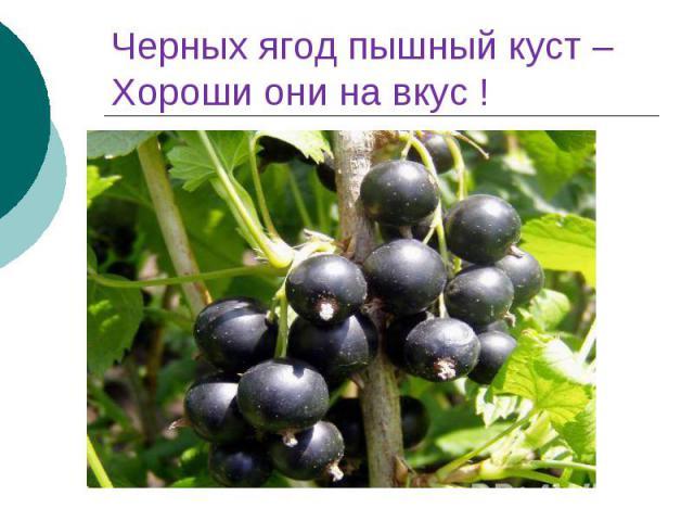 Черных ягод пышный куст – Хороши они на вкус !