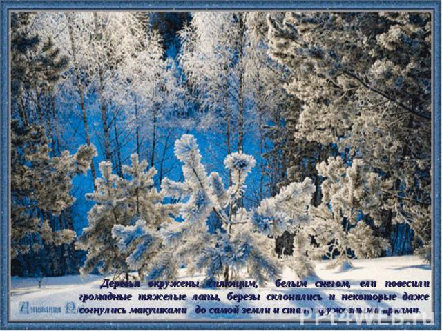 Деревья окружены сияющим, белым снегом, ели повесили громадные тяжелые лапы, березы склонились и некоторые даже согнулись макушками до самой земли и стали кружевными арками.