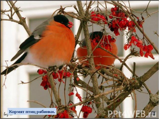 Кормят птиц рябинки.