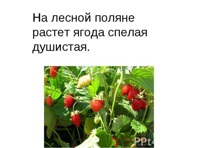 На лесной поляне растет ягода спелая душистая.